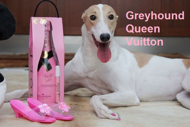 Greyhound Queen Vuitton v Greyhound Park Motol
